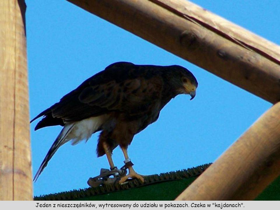W górnej części wieża używana podczas pokazów umiejętności ptaków drapieżnych.