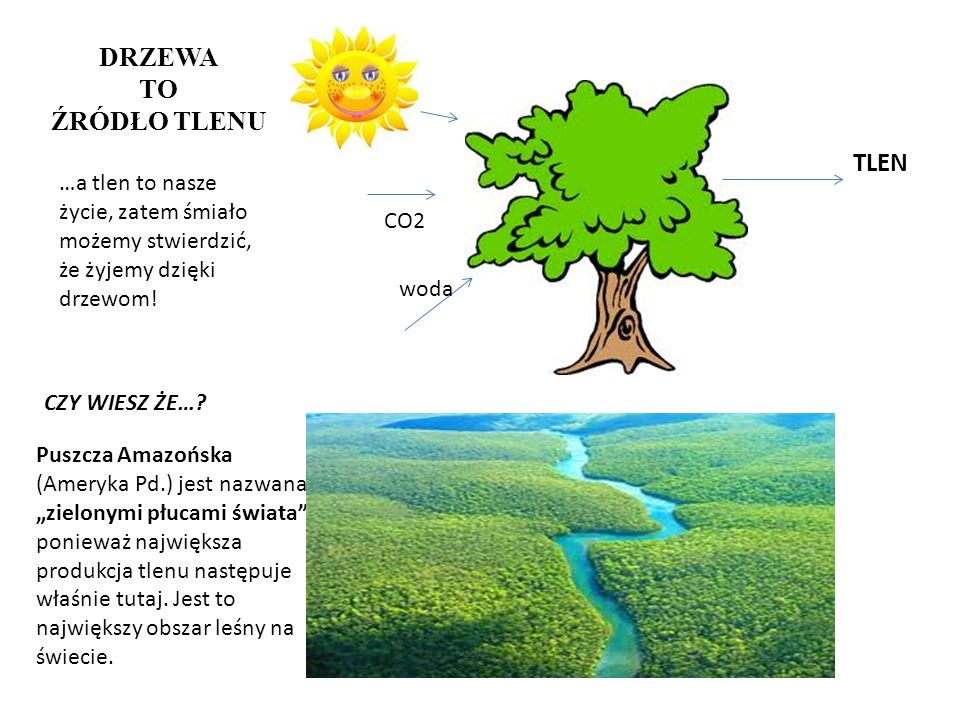 DRZEWA TO ŹRÓDŁO TLENU woda CO2 TLEN CZY WIESZ ŻE…? Puszcza Amazońska (Ameryka Pd.) jest nazwana zielonymi płucami świata, ponieważ największa produkc