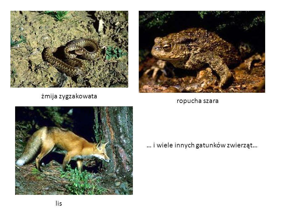 żmija zygzakowata ropucha szara lis … i wiele innych gatunków zwierząt…