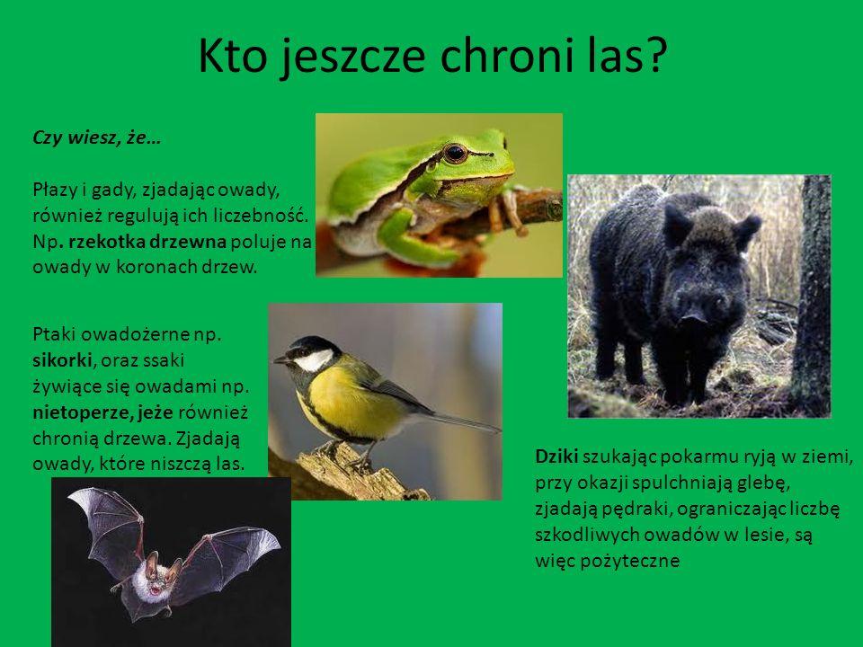 Kto jeszcze chroni las? Czy wiesz, że… Płazy i gady, zjadając owady, również regulują ich liczebność. Np. rzekotka drzewna poluje na owady w koronach