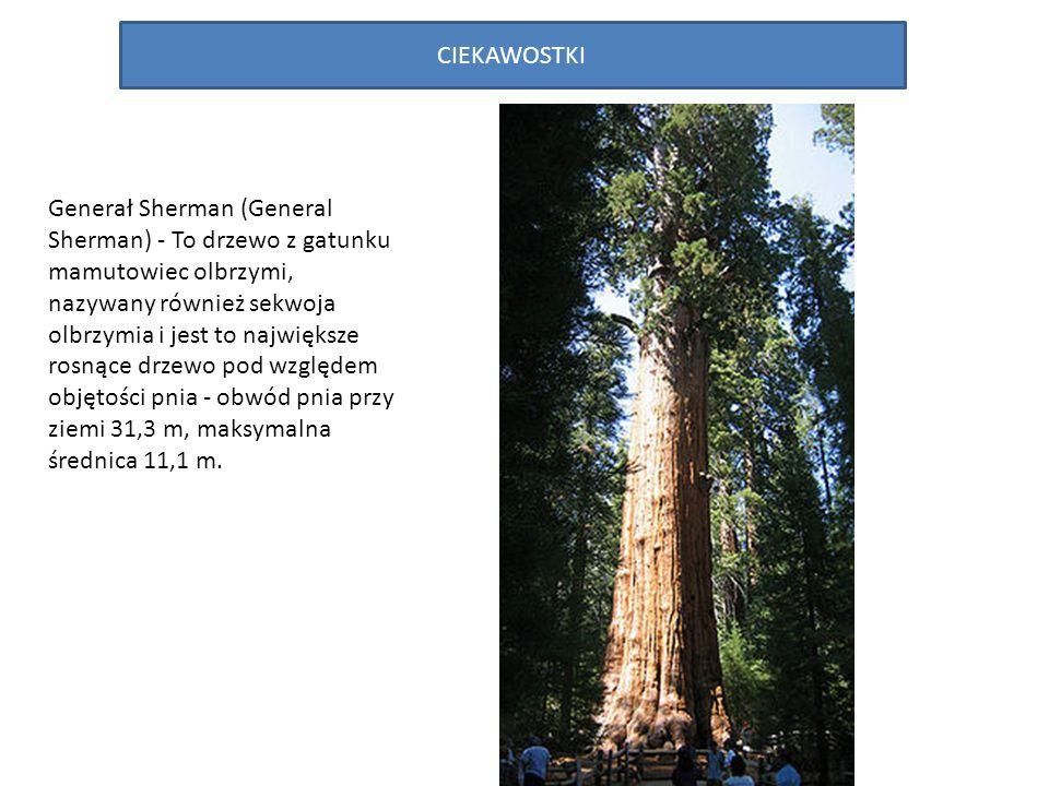 CIEKAWOSTKI Generał Sherman (General Sherman) - To drzewo z gatunku mamutowiec olbrzymi, nazywany również sekwoja olbrzymia i jest to największe rosnące drzewo pod względem objętości pnia - obwód pnia przy ziemi 31,3 m, maksymalna średnica 11,1 m.