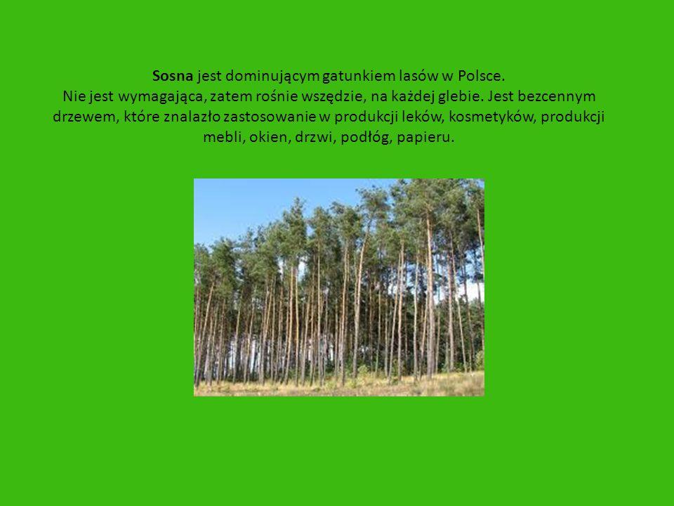Sosna jest dominującym gatunkiem lasów w Polsce. Nie jest wymagająca, zatem rośnie wszędzie, na każdej glebie. Jest bezcennym drzewem, które znalazło