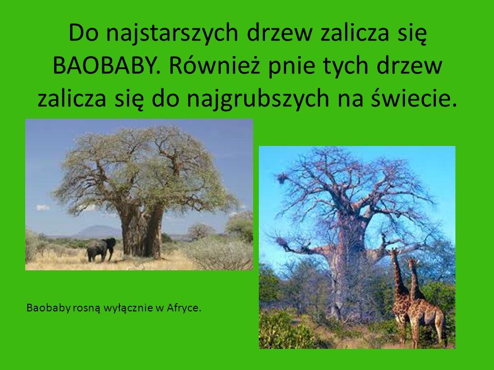 Do najstarszych drzew zalicza się BAOBABY. Również pnie tych drzew zalicza się do najgrubszych na świecie. Baobaby rosną wyłącznie w Afryce.