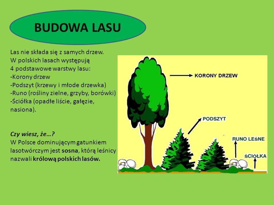 BUDOWA LASU Las nie składa się z samych drzew. W polskich lasach występują 4 podstawowe warstwy lasu: -Korony drzew -Podszyt (krzewy i młode drzewka)