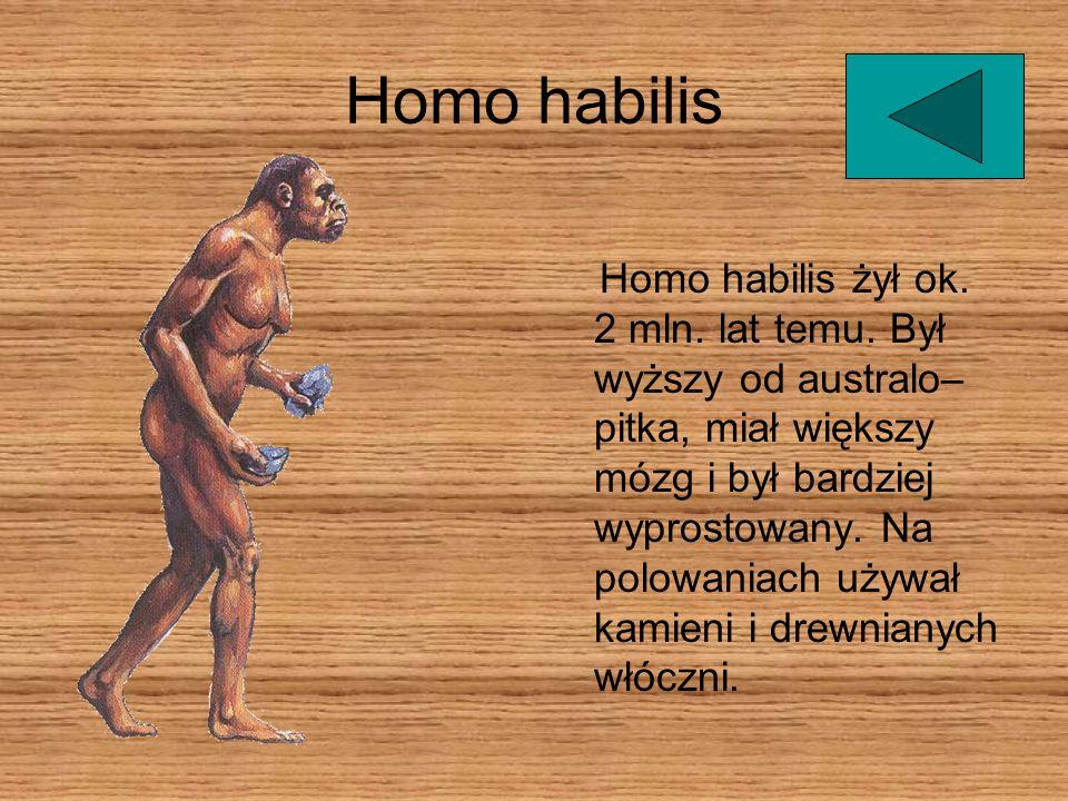 Homo habilis żył ok. 2 mln. lat temu. Był wyższy od australo– pitka, miał większy mózg i był bardziej wyprostowany. Na polowaniach używał kamieni i dr