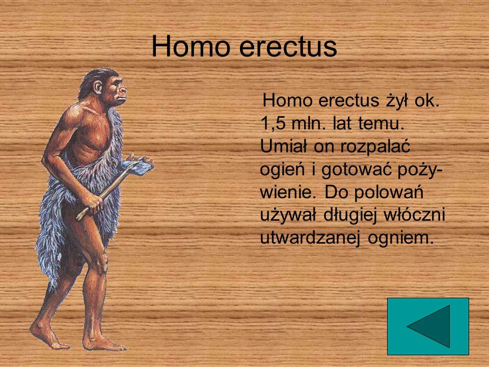 Homo erectus Homo erectus żył ok. 1,5 mln. lat temu. Umiał on rozpalać ogień i gotować poży- wienie. Do polowań używał długiej włóczni utwardzanej ogn