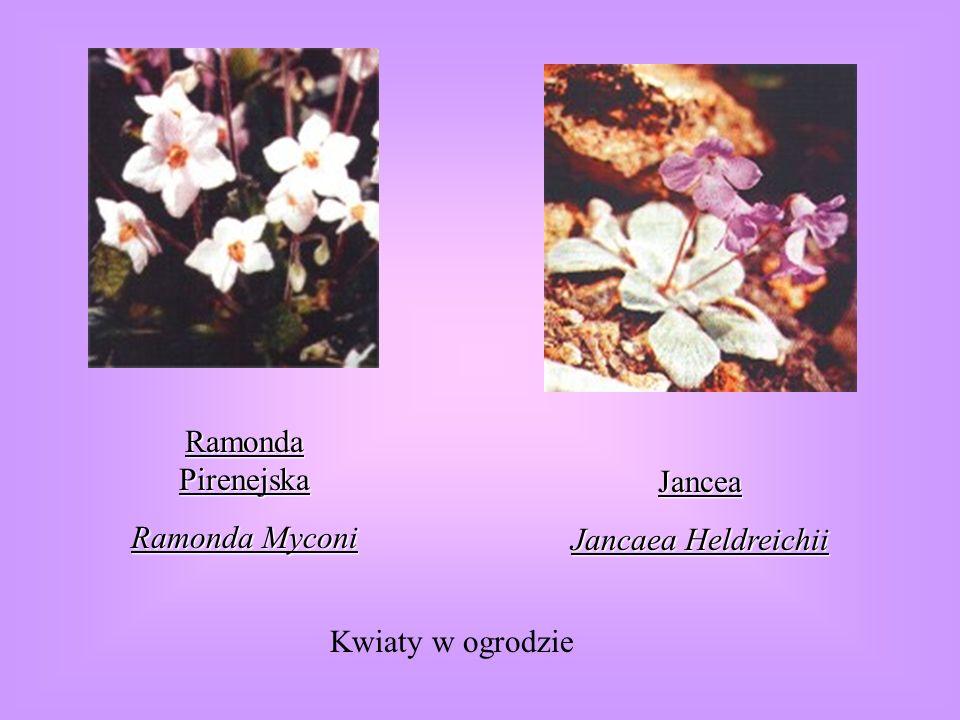 Ramonda Pirenejska Ramonda Myconi Jancea Jancaea Heldreichii Kwiaty w ogrodzie
