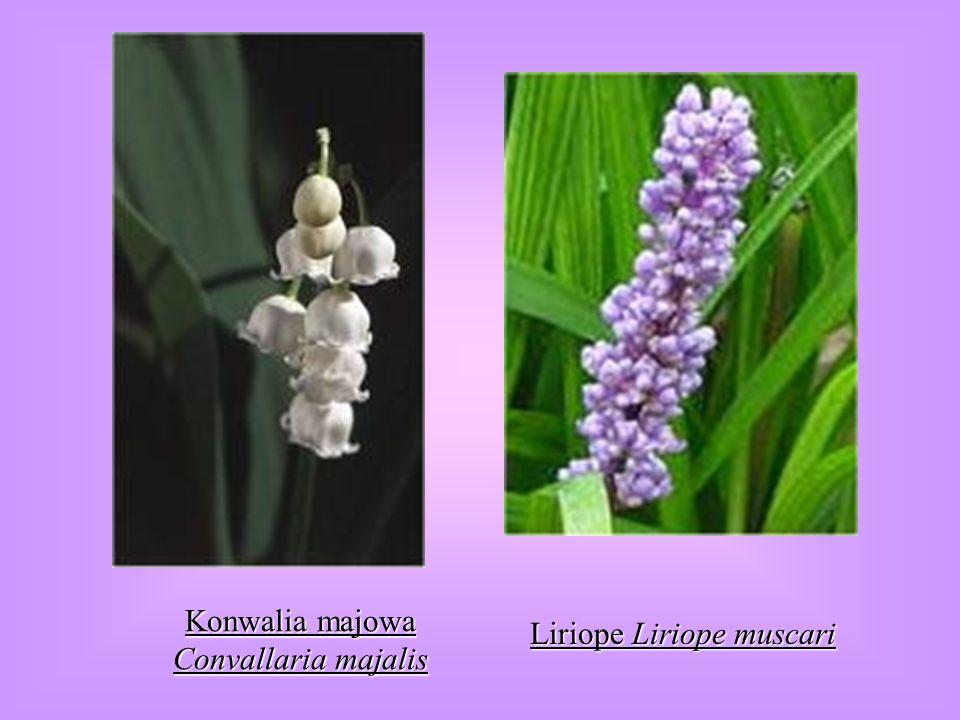 Konwalia majowa Convallaria majalis Liriope Liriope muscari