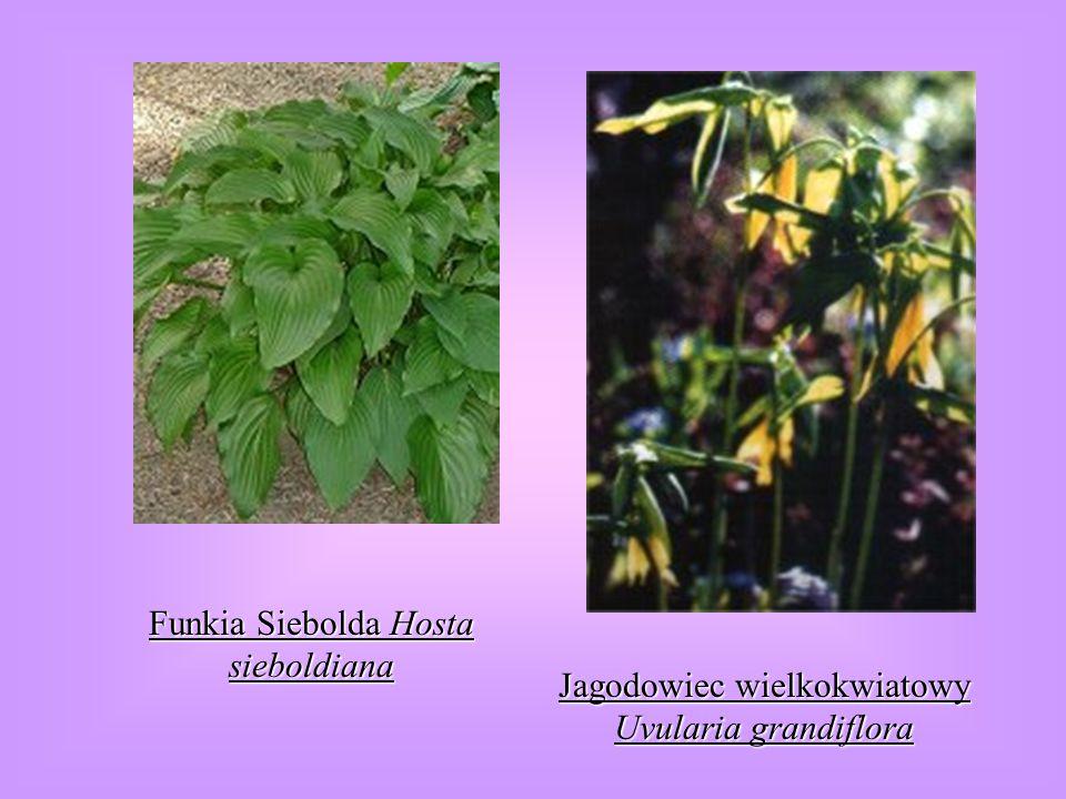 Funkia Siebolda Hosta sieboldiana Jagodowiec wielkokwiatowy Uvularia grandiflora