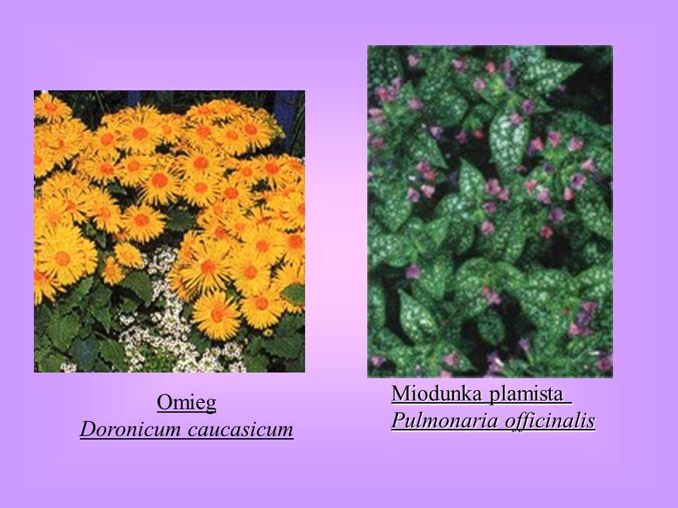 Omieg Doronicum caucasicum Miodunka plamista Pulmonaria officinalis