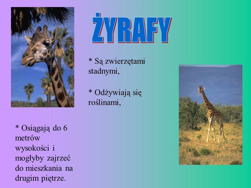 * Są zwierzętami stadnymi, * Odżywiają się roślinami, * Osiągają do 6 metrów wysokości i mogłyby zajrzeć do mieszkania na drugim piętrze.