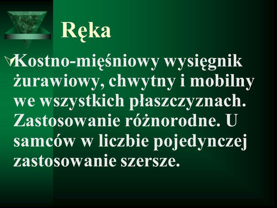 Ręka Kostno-mięśniowy wysięgnik żurawiowy, chwytny i mobilny we wszystkich płaszczyznach.