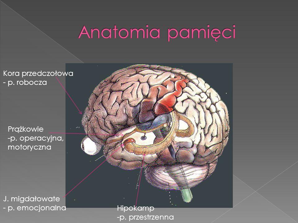 Kora przedczołowa - p. robocza Hipokamp -p. przestrzenna J. migdałowate - p. emocjonalna Prążkowie -p. operacyjna, motoryczna