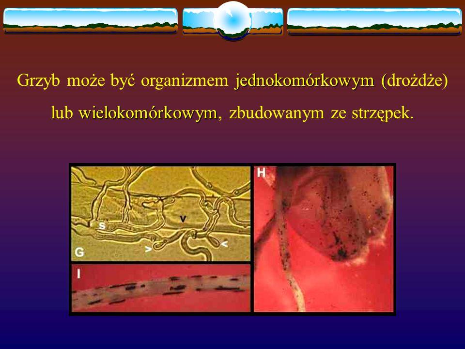 jednokomórkowym ( Grzyb może być organizmem jednokomórkowym (drożdże) wielokomórkowym lub wielokomórkowym, zbudowanym ze strzępek.