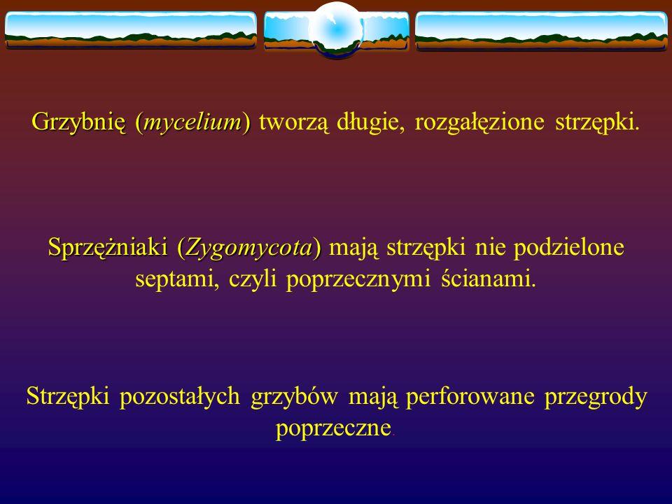 Grzybnię (mycelium) Grzybnię (mycelium) tworzą długie, rozgałęzione strzępki. Sprzężniaki (Zygomycota) Sprzężniaki (Zygomycota) mają strzępki nie podz