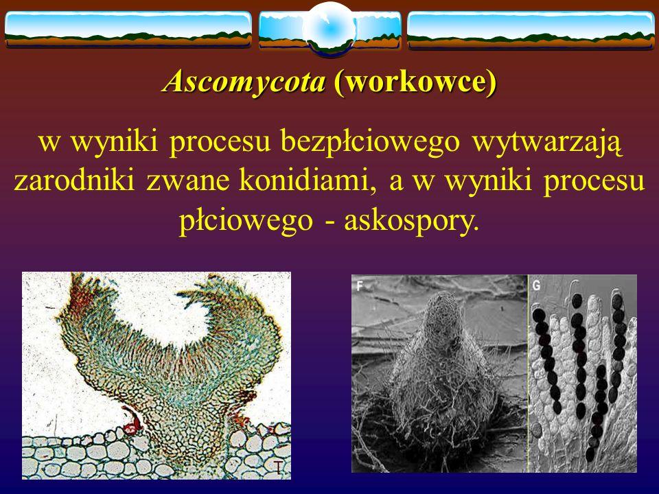 Ascomycota (workowce) w wyniki procesu bezpłciowego wytwarzają zarodniki zwane konidiami, a w wyniki procesu płciowego - askospory.