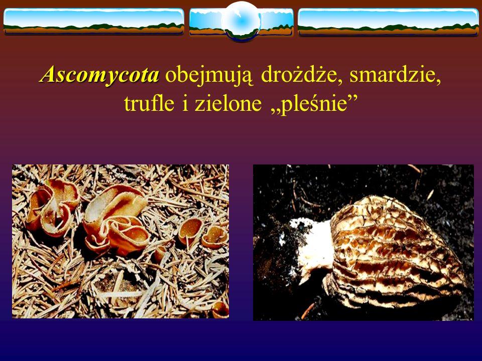 Ascomycota Ascomycota obejmują drożdże, smardzie, trufle i zielone pleśnie