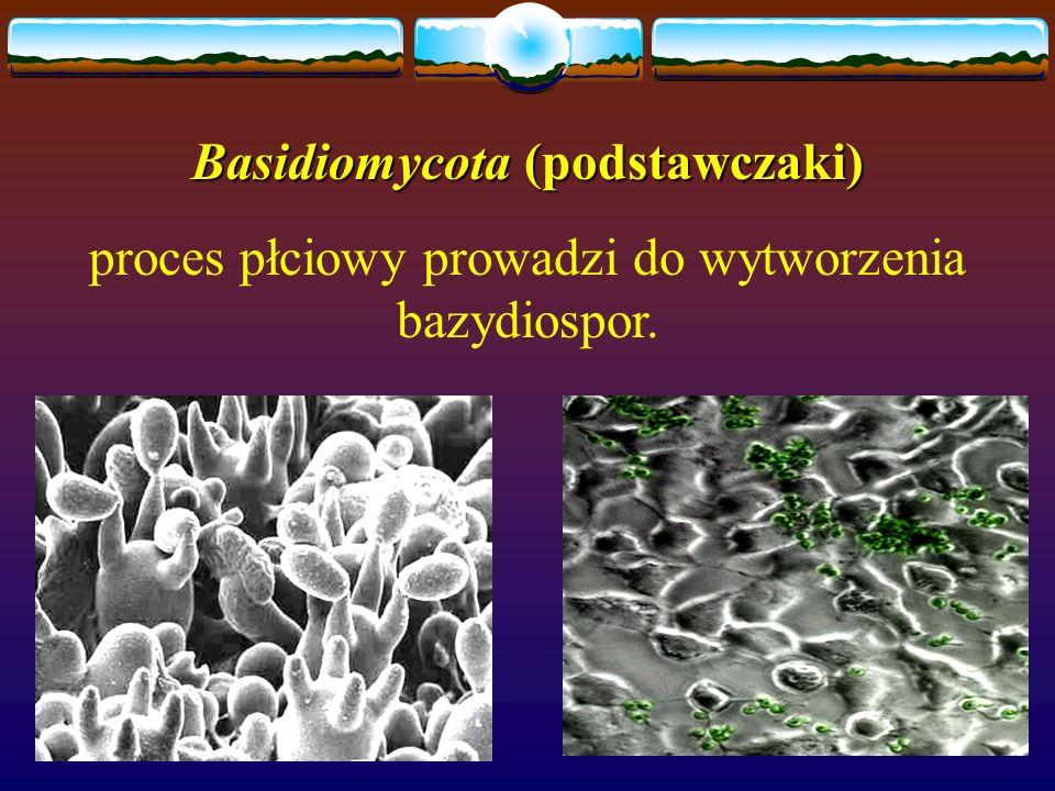 Basidiomycota (podstawczaki) proces płciowy prowadzi do wytworzenia bazydiospor.