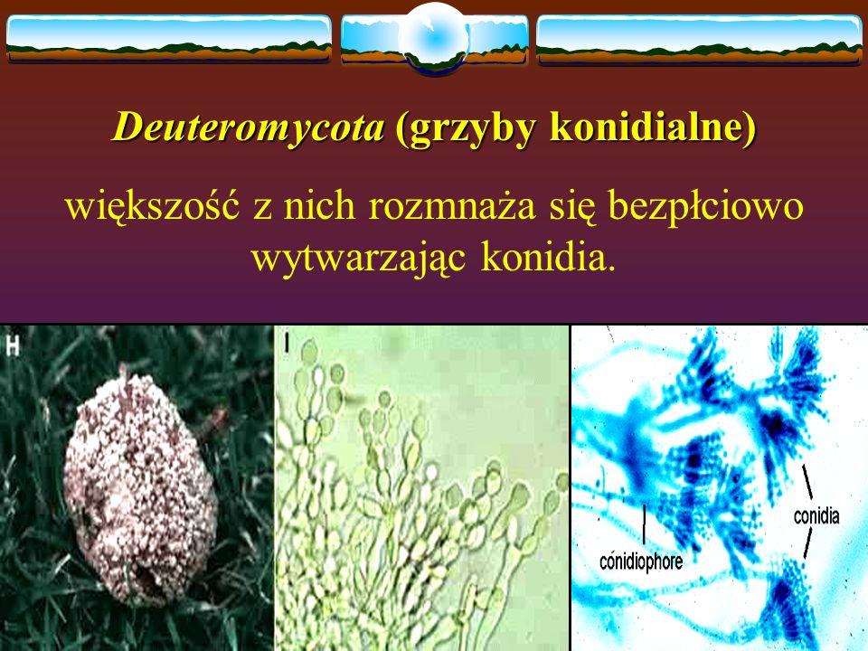 Deuteromycota (grzyby konidialne) większość z nich rozmnaża się bezpłciowo wytwarzając konidia.