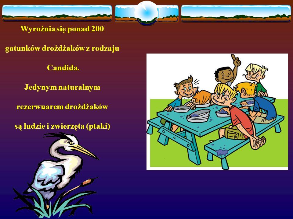 Wyrożnia się ponad 200 gatunków drożdżaków z rodzaju Candida. Jedynym naturalnym rezerwuarem drożdżaków są ludzie i zwierzęta (ptaki)