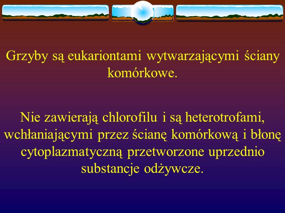 Grzyby są eukariontami wytwarzającymi ściany komórkowe. Nie zawierają chlorofilu i są heterotrofami, wchłaniającymi przez ścianę komórkową i błonę cyt