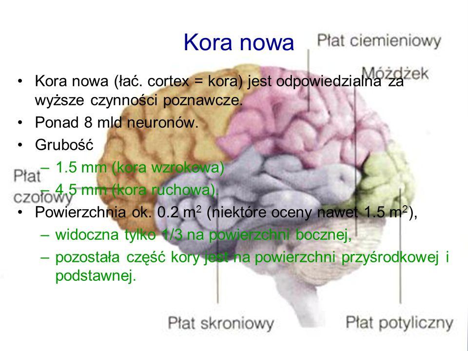 Kora nowa (łać. cortex = kora) jest odpowiedzialna za wyższe czynności poznawcze. Ponad 8 mld neuronów. Grubość –1.5 mm (kora wzrokowa) –4.5 mm (kora