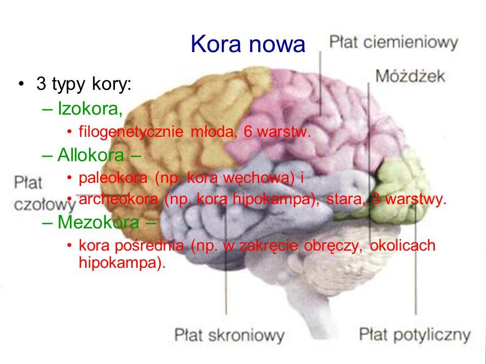 3 typy kory: –Izokora, filogenetycznie młoda, 6 warstw. –Allokora – paleokora (np. kora węchowa) i archeokora (np. kora hipokampa), stara, 3 warstwy.