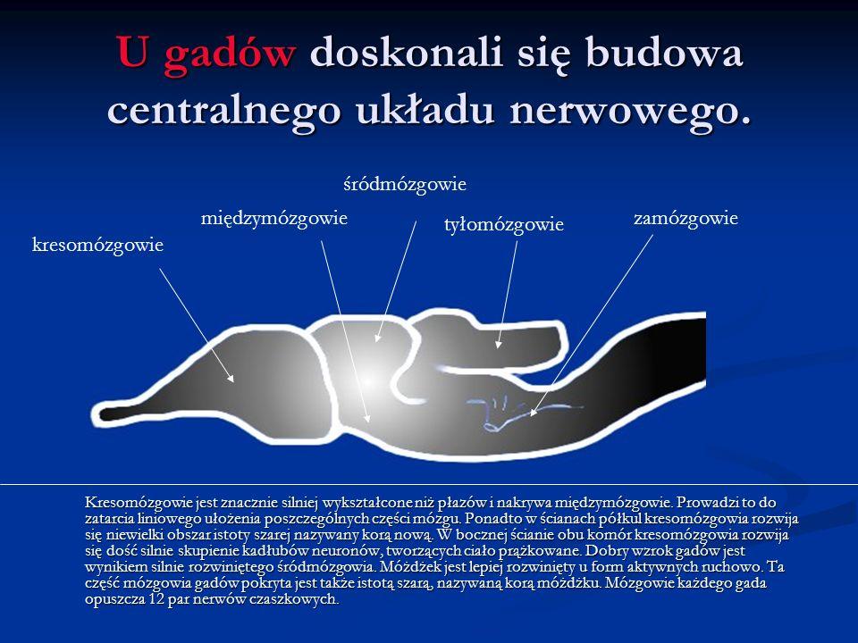 U gadów doskonali się budowa centralnego układu nerwowego.