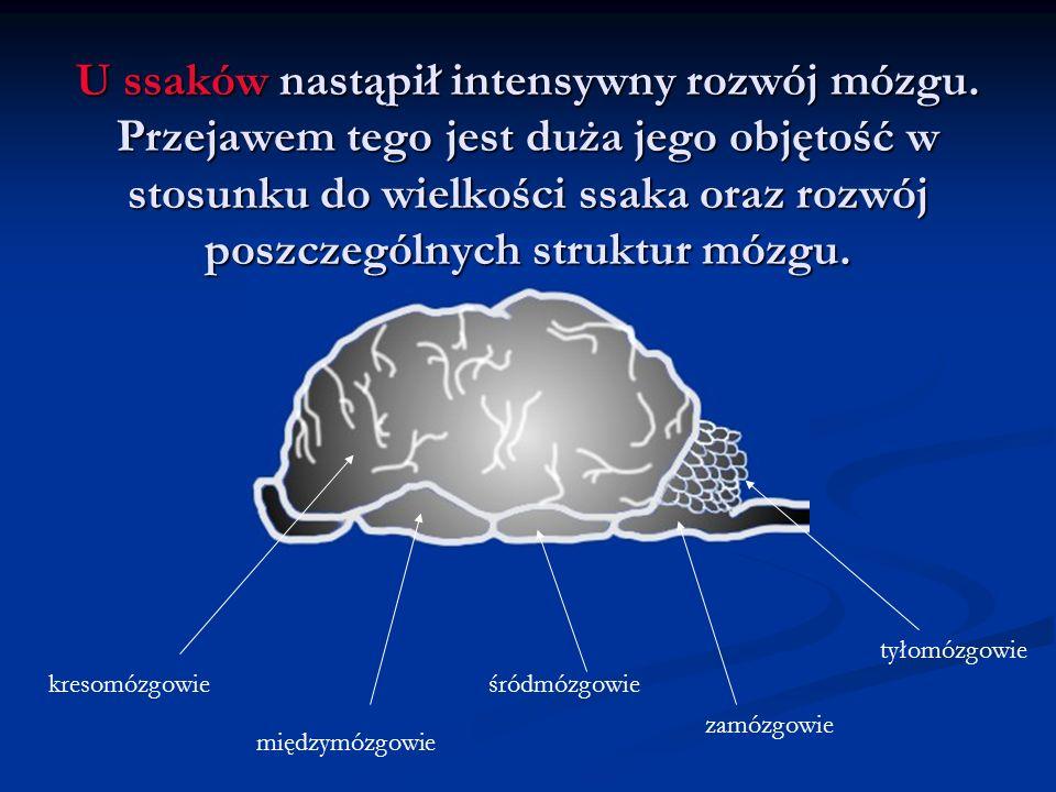 U ssaków nastąpił intensywny rozwój mózgu.