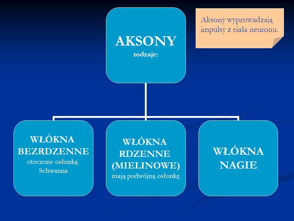 AKSONY rodzaje: WŁÓKNA BEZRDZENNE otoczone osłonką Schwanna WŁÓKNA RDZENNE (MIELINOWE) mają podwójną osłonkę WŁÓKNA NAGIE Aksony wyprowadzają impulsy z ciała neuronu.