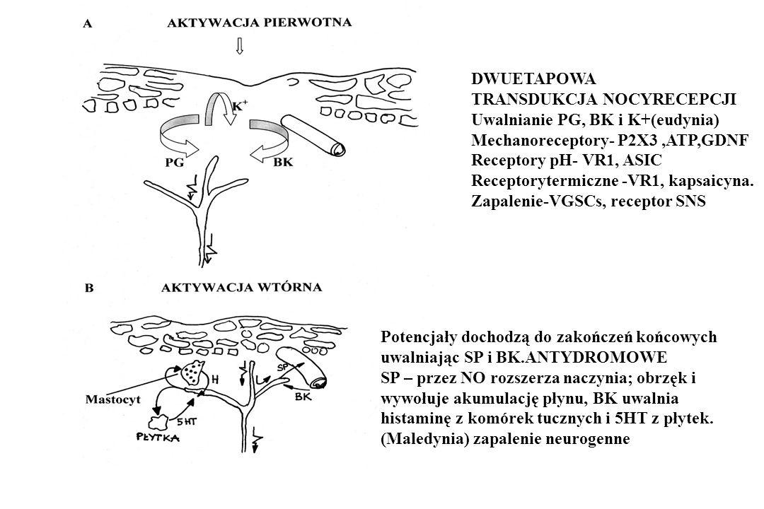 DWUETAPOWA TRANSDUKCJA NOCYRECEPCJI Uwalnianie PG, BK i K+(eudynia) Mechanoreceptory- P2X3,ATP,GDNF Receptory pH- VR1, ASIC Receptorytermiczne -VR1, k