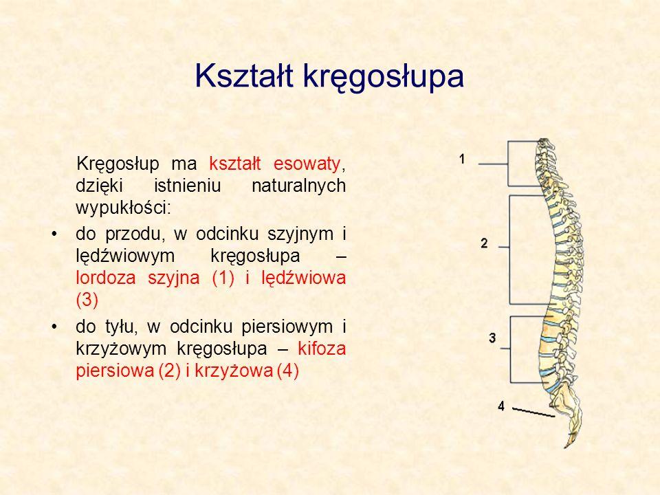 Kształt kręgosłupa Kręgosłup ma kształt esowaty, dzięki istnieniu naturalnych wypukłości: do przodu, w odcinku szyjnym i lędźwiowym kręgosłupa – lordoza szyjna (1) i lędźwiowa (3) do tyłu, w odcinku piersiowym i krzyżowym kręgosłupa – kifoza piersiowa (2) i krzyżowa (4)