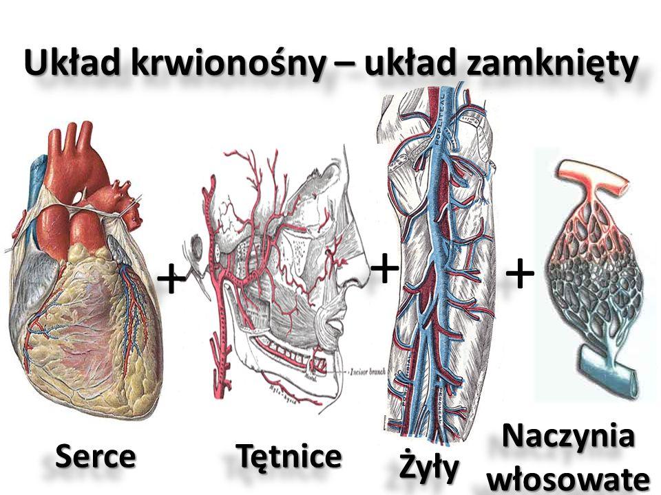 Układ krwionośny – układ zamknięty + + + + + + SerceSerceTętniceTętnice ŻyłyŻyły Naczynia włosowate