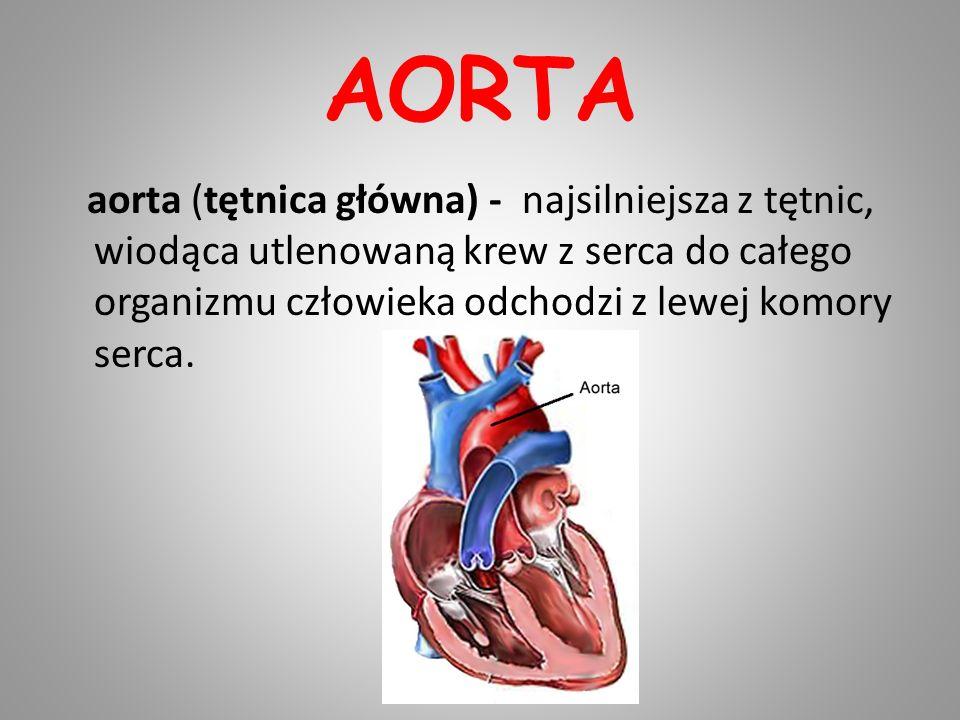 AORTA aorta (tętnica główna) - najsilniejsza z tętnic, wiodąca utlenowaną krew z serca do całego organizmu człowieka odchodzi z lewej komory serca.
