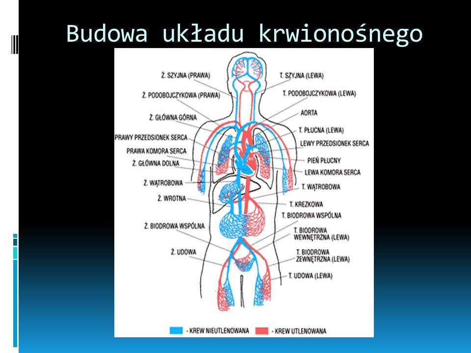 Mały krwiobieg Odtleniona krew wypompowywana jest z prawej komory serca przez zastawkę pnia płucnego do pnia płucnego, który rozgałęzia się na dwie tę