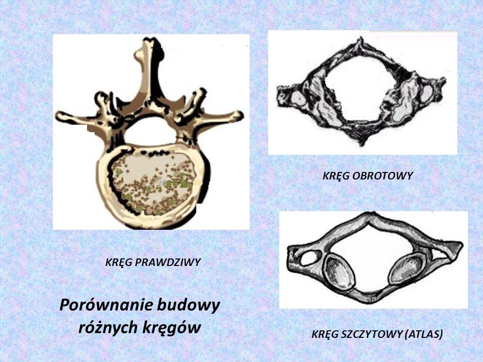 KRĘG PRAWDZIWY KRĘG OBROTOWY KRĘG SZCZYTOWY (ATLAS) Porównanie budowy różnych kręgów