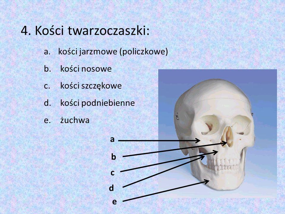 a b d c e 4. Kości twarzoczaszki: a.kości jarzmowe (policzkowe) b. kości nosowe c. kości szczękowe d. kości podniebienne e. żuchwa