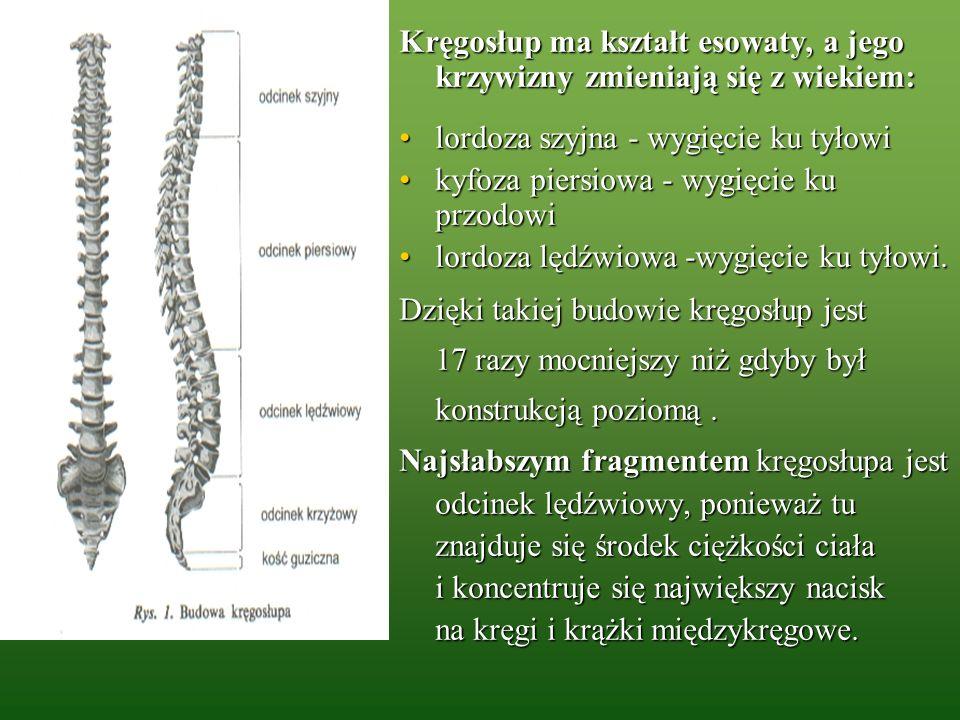 Kręgosłup ma kształt esowaty, a jego krzywizny zmieniają się z wiekiem: lordoza szyjna - wygięcie ku tyłowilordoza szyjna - wygięcie ku tyłowi kyfoza
