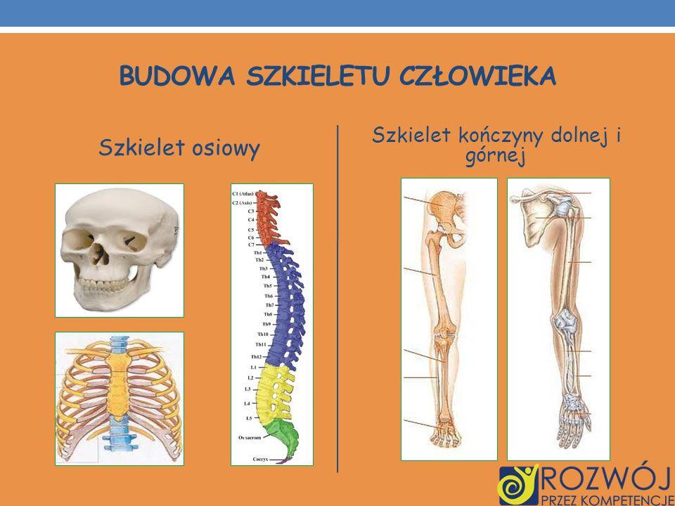 BUDOWA SZKIELETU CZŁOWIEKA Szkielet osiowy Szkielet kończyny dolnej i górnej