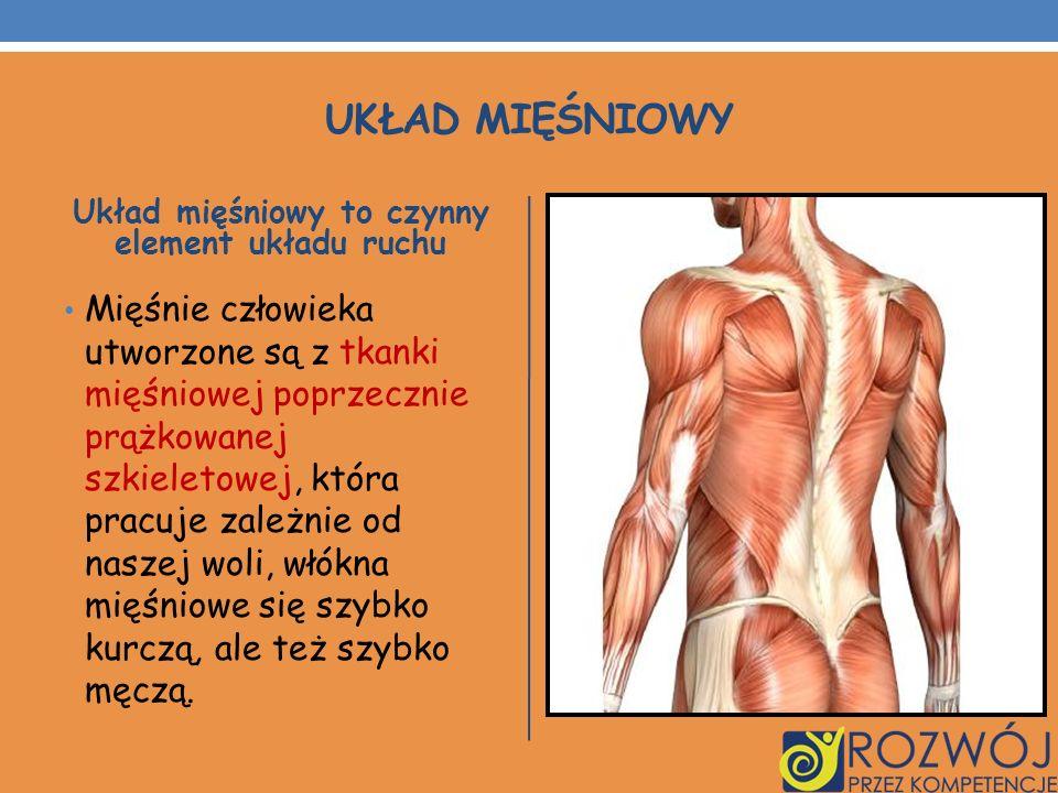 UKŁAD MIĘŚNIOWY Układ mięśniowy to czynny element układu ruchu Mięśnie człowieka utworzone są z tkanki mięśniowej poprzecznie prążkowanej szkieletowej