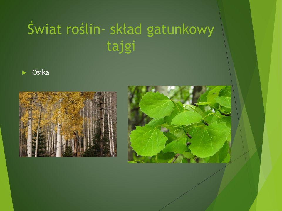 Świat roślin- skład gatunkowy tajgi Osika