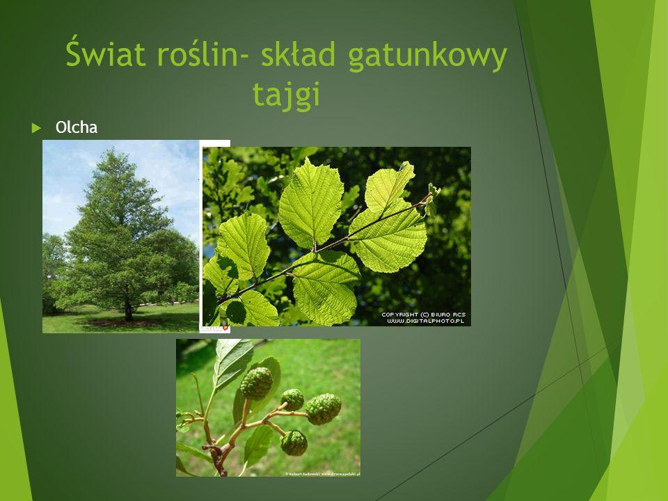 Świat roślin- skład gatunkowy tajgi Olcha