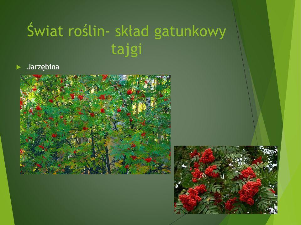 Świat roślin- skład gatunkowy tajgi Jarzębina