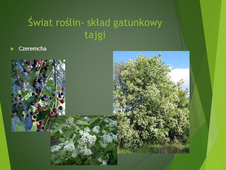 Świat roślin- skład gatunkowy tajgi Czeremcha
