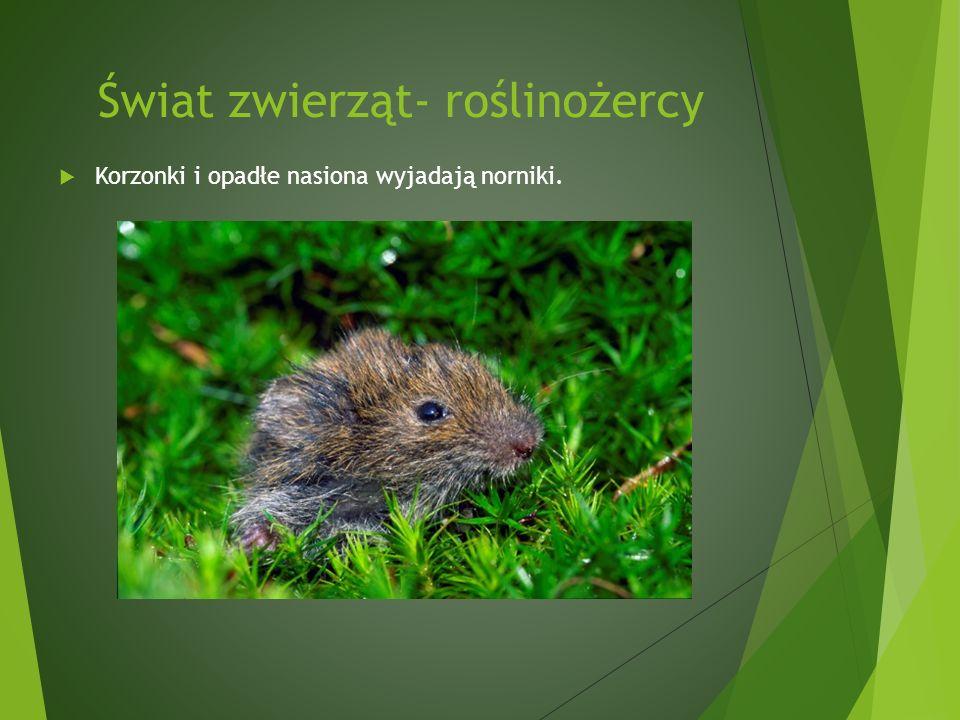 Świat zwierząt- roślinożercy Korzonki i opadłe nasiona wyjadają norniki.