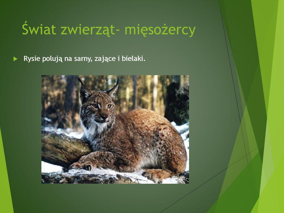 Świat zwierząt- mięsożercy Rysie polują na sarny, zające i bielaki.