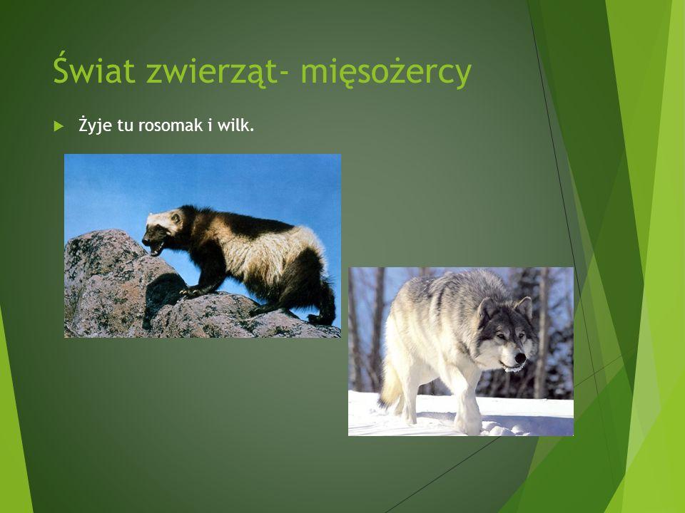 Świat zwierząt- mięsożercy Żyje tu rosomak i wilk.