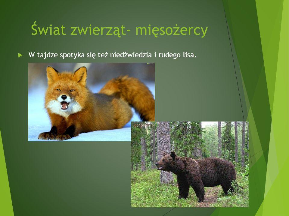 Świat zwierząt- mięsożercy W tajdze spotyka się też niedźwiedzia i rudego lisa.