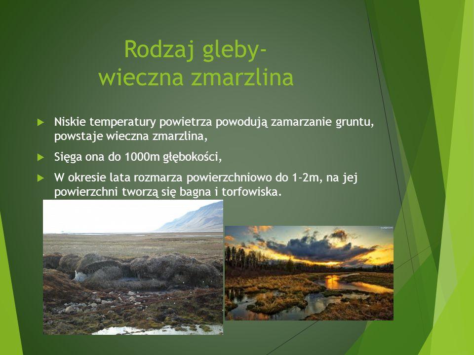 Rodzaj gleby- wieczna zmarzlina Niskie temperatury powietrza powodują zamarzanie gruntu, powstaje wieczna zmarzlina, Sięga ona do 1000m głębokości, W okresie lata rozmarza powierzchniowo do 1-2m, na jej powierzchni tworzą się bagna i torfowiska.