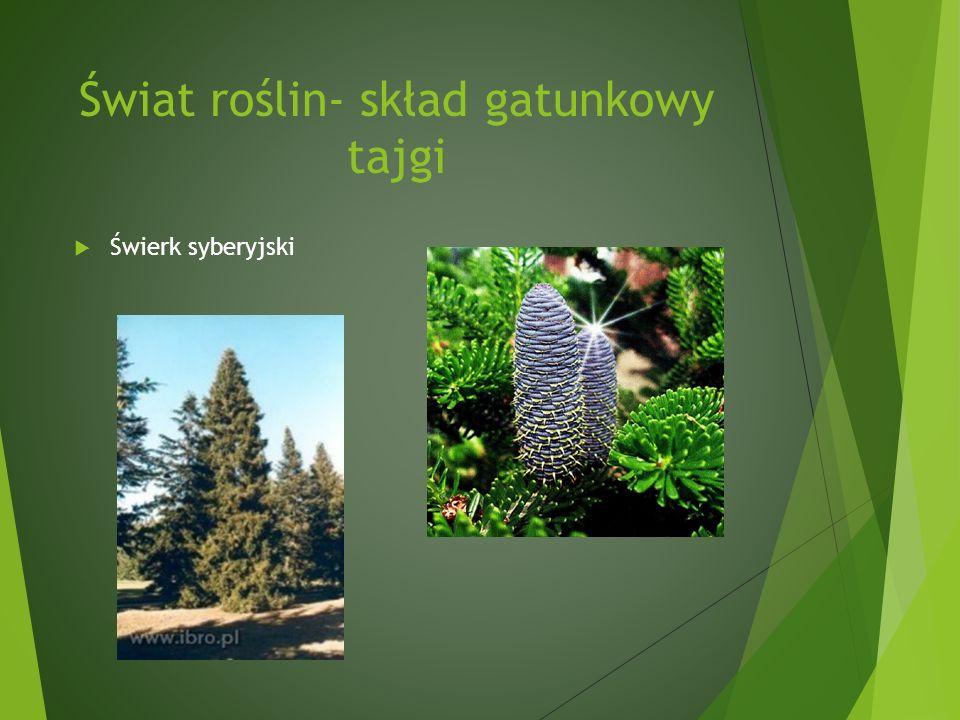 Świat roślin- skład gatunkowy tajgi Świerk syberyjski